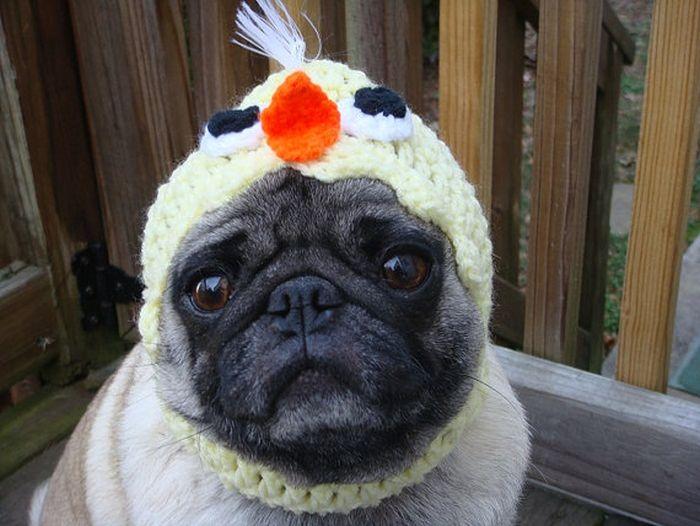Cute Pug Hats – 1Funny.com