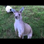 Kangaroo & Lemur Plays Tag