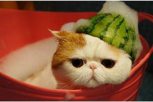 Cat Eating Melon