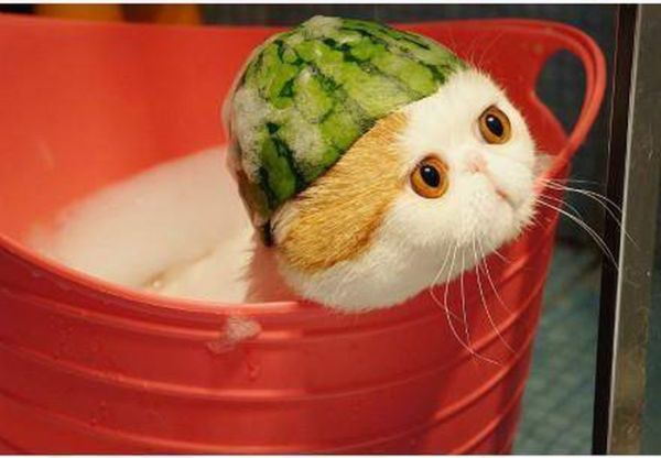 cute cat with watermelon hat 1funny com