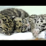 Sleeping Leopard Cubs