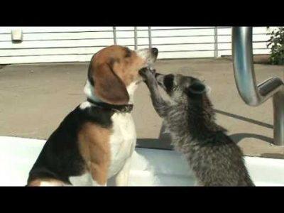 Raccoon Dentist