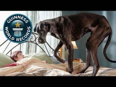 World's Tallest Dog