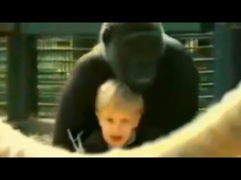 Gorilla Plays with Toddler
