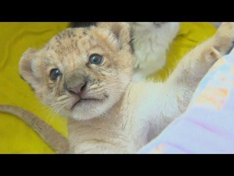 World's First Liliger Cub
