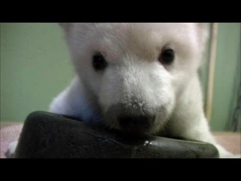 Baby Polar Bear Learns to Walk