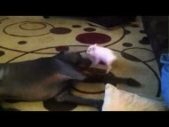 Miniature Pig Picking on Great Dane