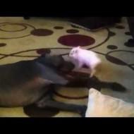 Miniature Pig Picking on Great Dane