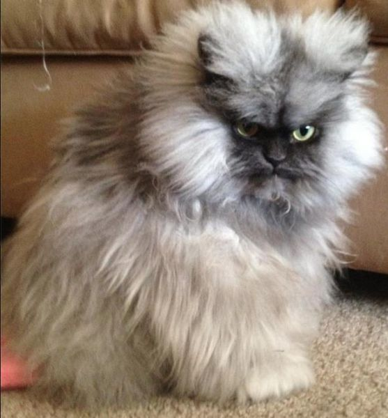 Angry Looking Cat 17 Pics 1funny Com