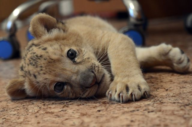 Liliger Cub (20 pics & 1 video) – 1Funny.com