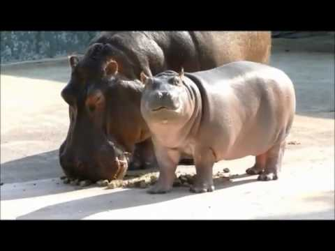 Baby Hippo's First Meal