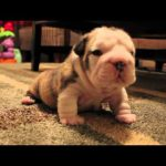 Bulldog Puppy Tries to Walk