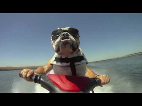Jet Skiing Bulldog