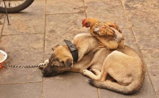 Hen & Dog (6 pics) | 1Funny.com: 1funny.com/hen-dog