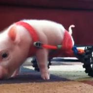 Piglet in a Wheelchair
