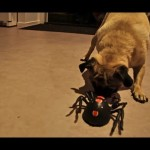Giant Spider vs. Pug
