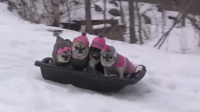Car For Kids >> Pug Family Sledding – 1Funny.com