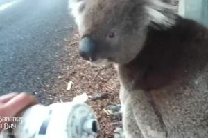 koala-meets-cyclist thumbnail