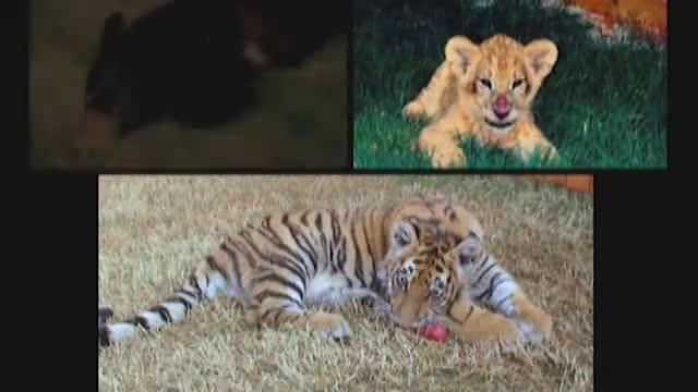 Lion, Tiger, & Bear Live Together