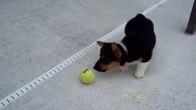 Corgi Playing Ball for the First Time