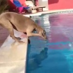 Dog Fetching a Frisbee in the Pool