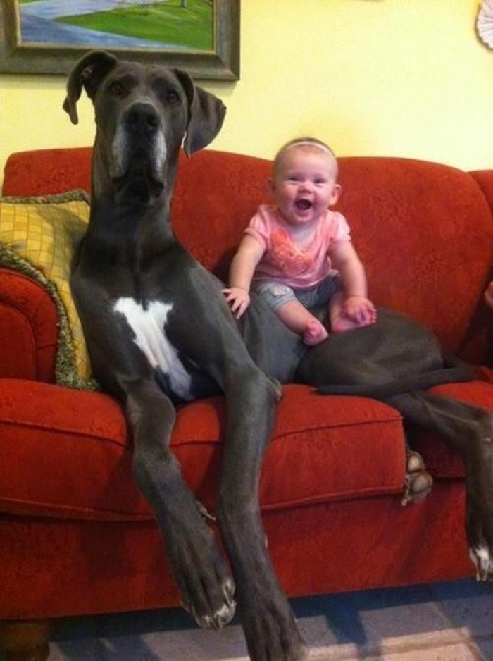 Huge Dogs 12 Pics 1funny Com
