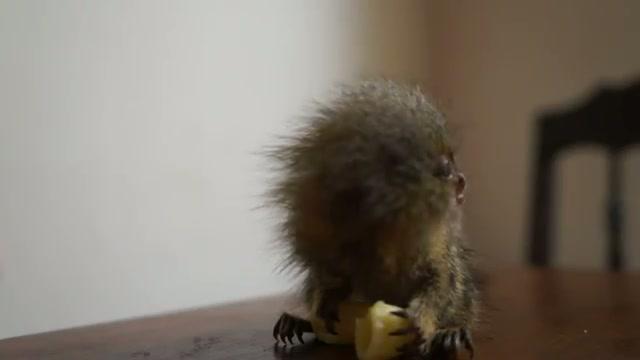 Smallest Monkey in the World Enjoys Some Macaroni