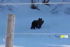 bears-in-russia thumbnail