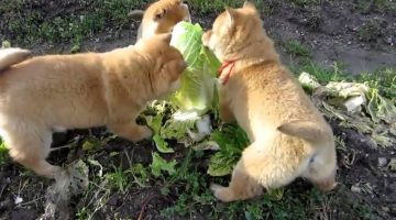 3 Cute Puppies Attacking a Cabbage