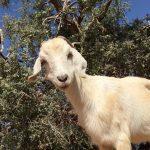 Goats on a Tree 2