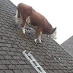 Cows Are Smarter than You Think!