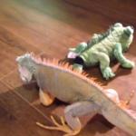 Real Iguana Attacks Stuffed Iguana