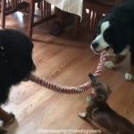 Tiny Dachshund Wins Epic Tug-Of-War