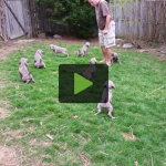7 Week Old Puppies Pee on Command