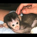 Funny and Cute Baby Monkeys Compilation