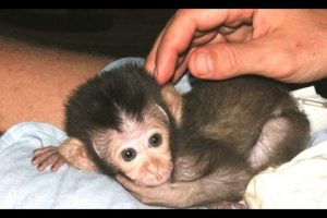 Baby-Monkey-A-Funny-And-Cute-Baby-Monkey-Videos-Compilation-NEW-HD