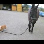 Funny Dogs Walking Horses Compilation