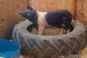 Pig-Figures-Out-The-Smartest-Way-To-Escape-His-Pen