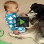 Cute Husky Becomes the Perfect Bed for Baby