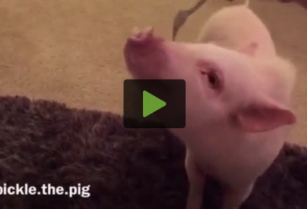 Mini Pig Hilariously Assumes Position for Belly Scratching