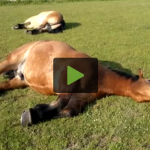 Sleeping Horses Caught Snoring Extremely Loudly