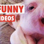 13 Funny Pig Videos