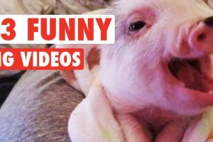 13-Funny-Pig-Videos-Awesome-Compilation