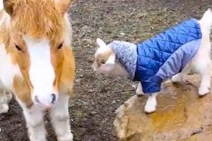 Baby-Goat-Bounces-Around-The-Farm-In-Little-Jackets