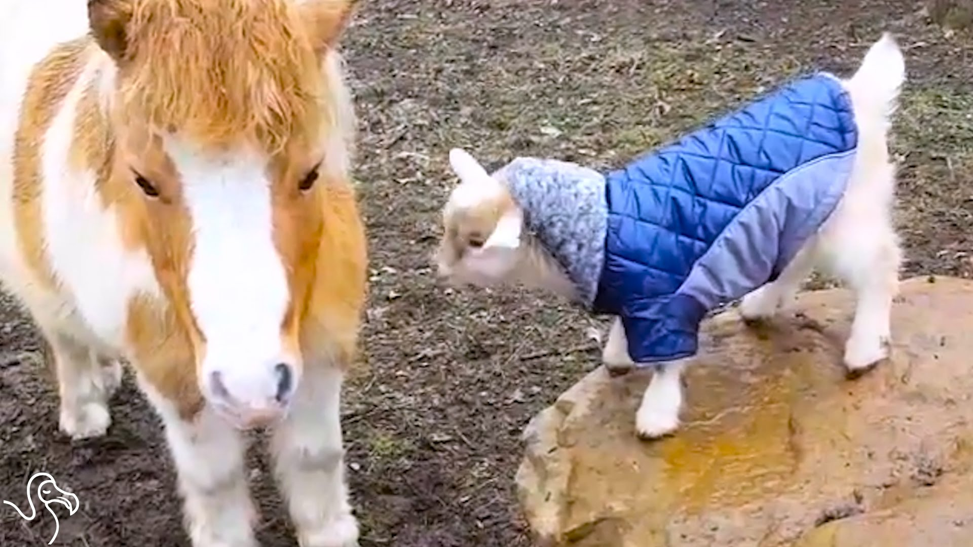 baby goat bounces around the farm in little jackets