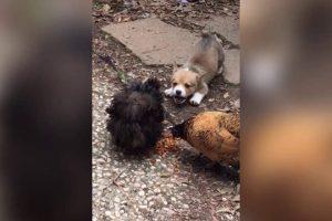 Corgi-Puppy-vs.-Chickens