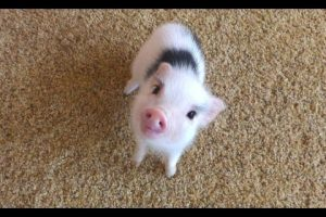 Mini-Pig-A-Cute-Micro-Pig-Videos-Compilation-2016-NEW-HD