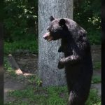 Bear Walking on Two Legs Strolls Through Neighborhood