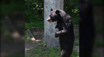 Pedals-bipedal-bear-sighting