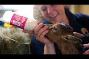 The-Most-Adorable-Baby-Goat-Love-Story-You-Will-Ever-See